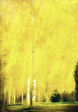 Yellow Birch Trees (Spring is Coming)