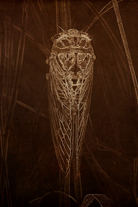 Cicada (Tibicen dealbatus) Hanging on a Dried Stalk of Grass in Eastern Colorado