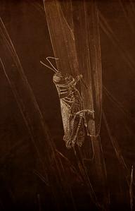 Macro of Two-striped Grasshopper (Melanoplus bivittatus) On Stalk of Grass