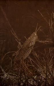 Showy Grasshopper (Hesperotettix speciosus) in Grassy Habitat in Eastern Colorado