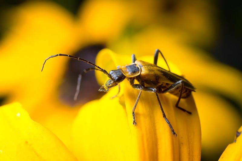 Pennsylvania Leatherwing Beetle - Chauliognathus pennsylvanicus
