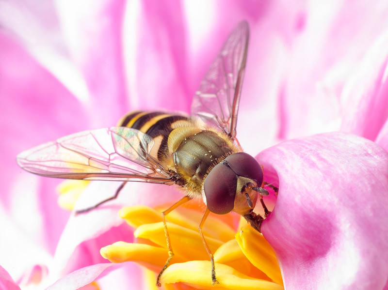 Hoverfly working in a Peony blossum