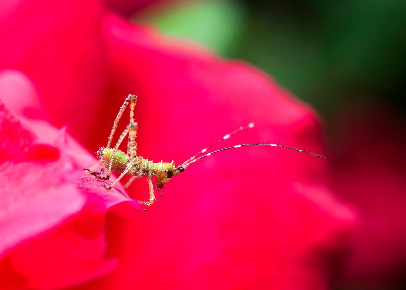 Katydid nymph explores a rose