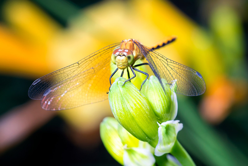 Meadowhawk in the Lilies
