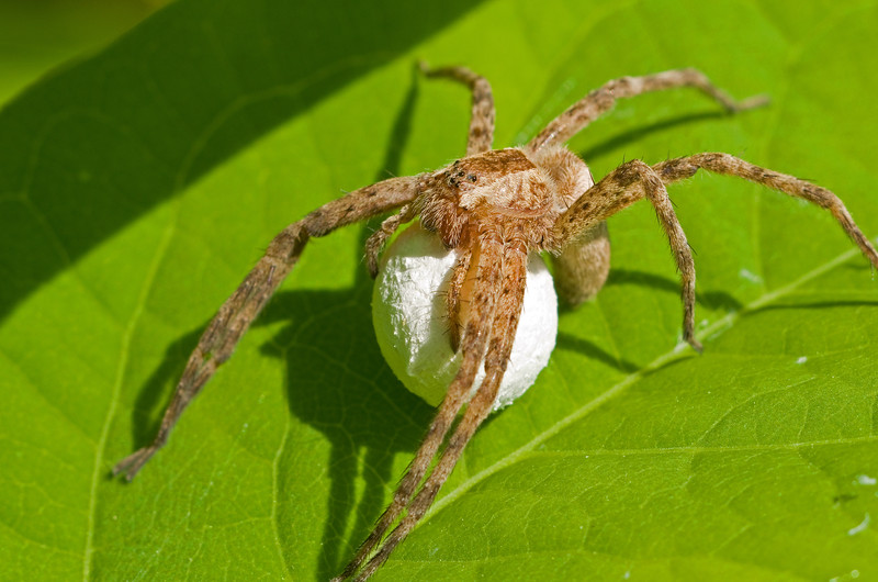Nursery Web Spider - Pisaurina mira - with egg sac<br /> She will carry this sac around until the young are ready to hatch.  Then she will attach it to a leaf and weave the leaf into a tent-like web.  The web will serve as a nursery for her hatchlings where she will stand guard over them until she cuts them loose.  These spiders spin webs only for nurseries, not to catch their prey