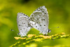 Spring Azure - Celastrina ladon, Mating