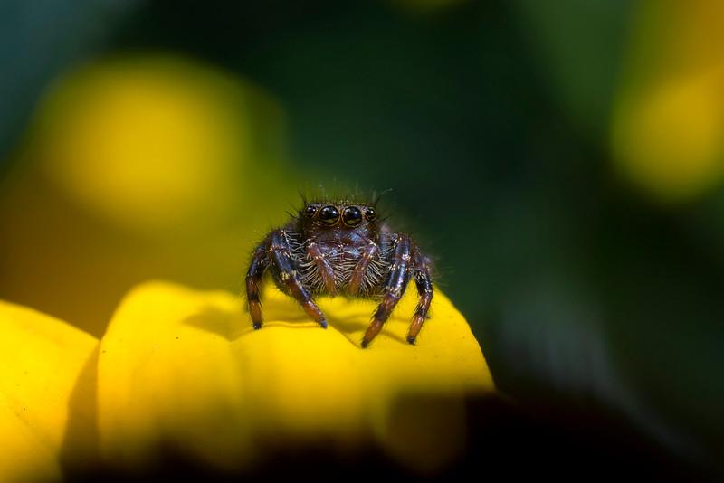 Jumping Spider on blackeyed susan