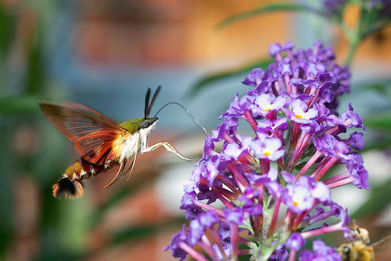 Hummingbird Clearwing Moth - Hemaris thysbe