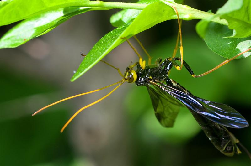 Giant Ichneumon Wasp - Megarhyssa atrata