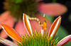 An inchworm proceeds to destroy one of my new orange coneflowers