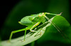 Katydid in the spotlight