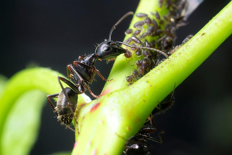 Ant Herding Aphids