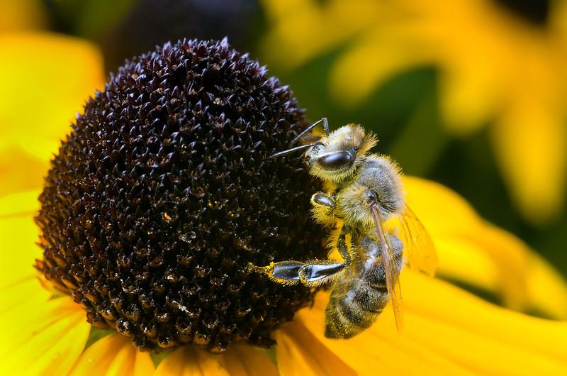 Honey bee on black eyed susan blossom