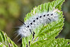Hickory Tussock caterpillar - Lophocampa caryae
