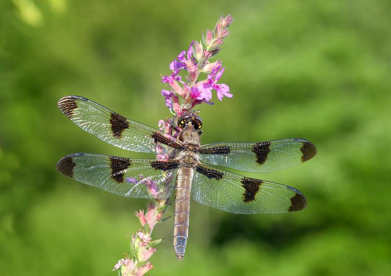 Twelve-spotted skimmer - Libellula pulchella, female