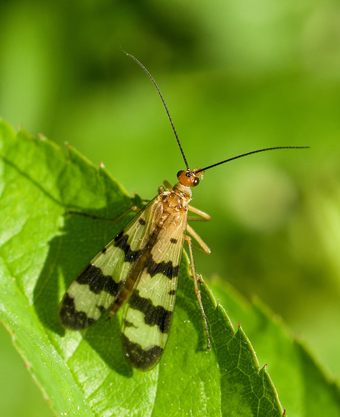Scorpion Fly - Panorpa confusa