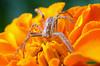 Grass Spider on a marigold