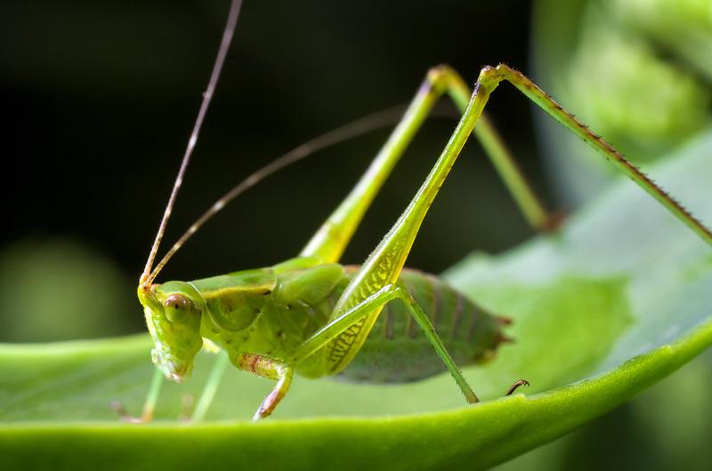 A juvenile Katydid rests on a Sedum leaf