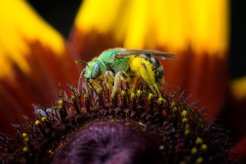 Bicolored Agepostemon Sweat Bee