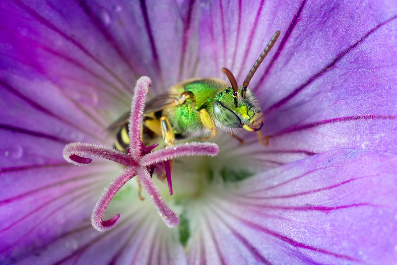 A Bi-colored agapostemon bee wakes up after spending the night in a geranium blossom