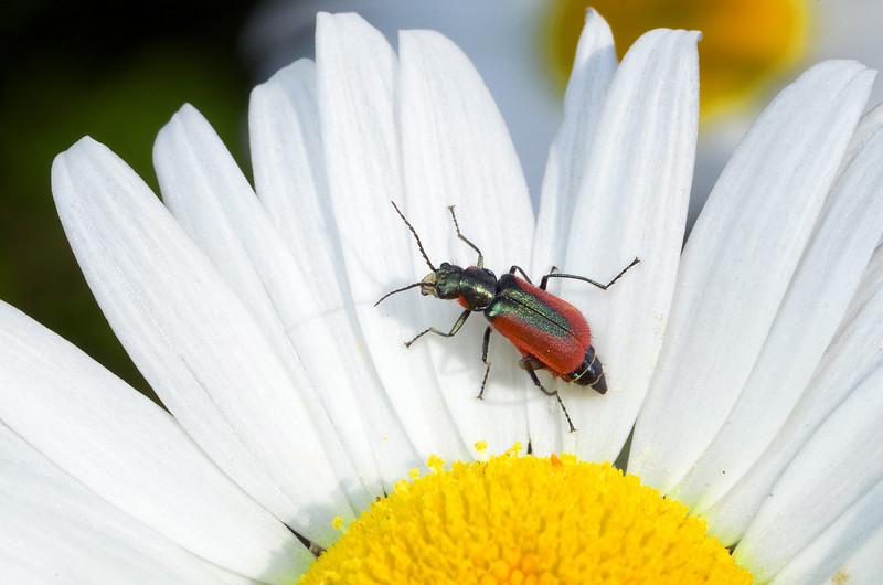 Scarlet Malachite Beetle - Malachius aeneus