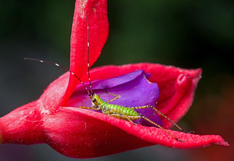 Katydid nymph on fuschia blossom