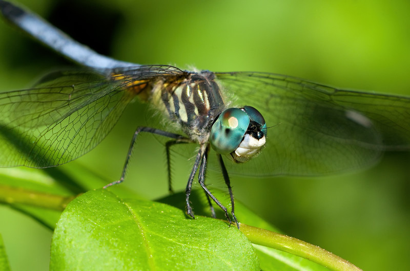 Blue Dasher - Pachydiplax longipennis, male