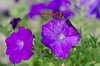 Ruddy Darter - Sympetrum sanguineum - male