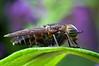 Horsefly - family Tabanidae