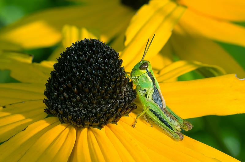 Spur-throated Grasshopper - Melanoplus ponderosus