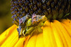Jagged Ambush Bugs - Genus Phymata, mating pair