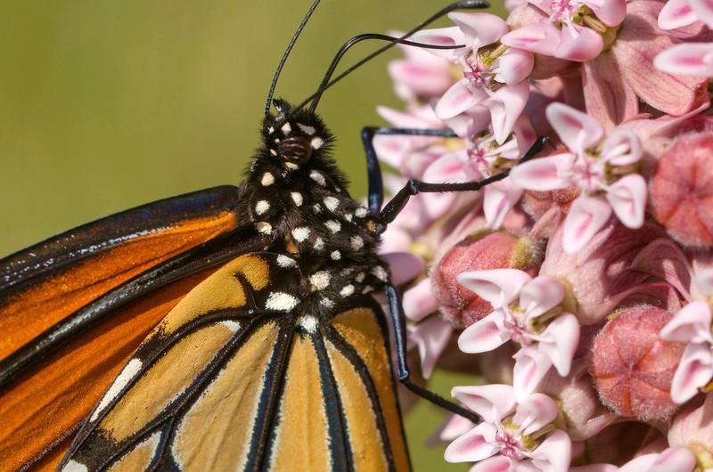 Monarch feeding - Danaus plexippus