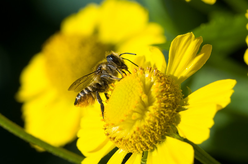Alfalfa Leafcutter Bee - Megachile rotundata<br /> Looks like the cartoon caricature of a bee.