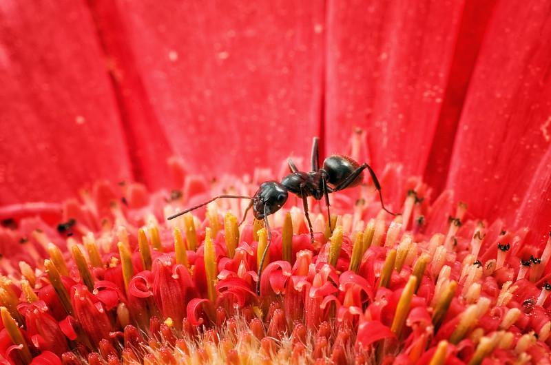 Ant on Gerbera Daisy