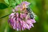 Leafcutter Bee - Megachiles rotundata
