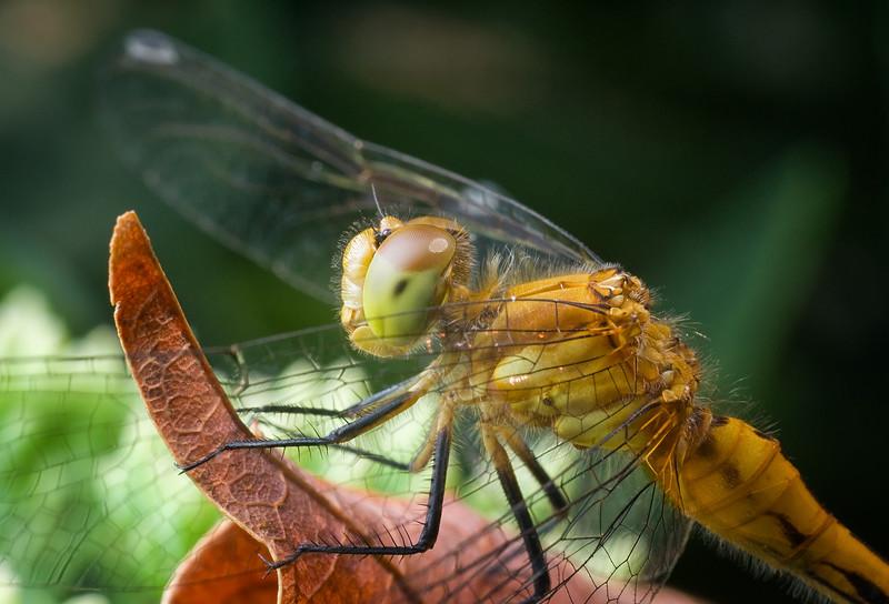 Cherry Faced Meadowhawk , female