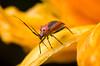 Plant Bug - Family Miridae