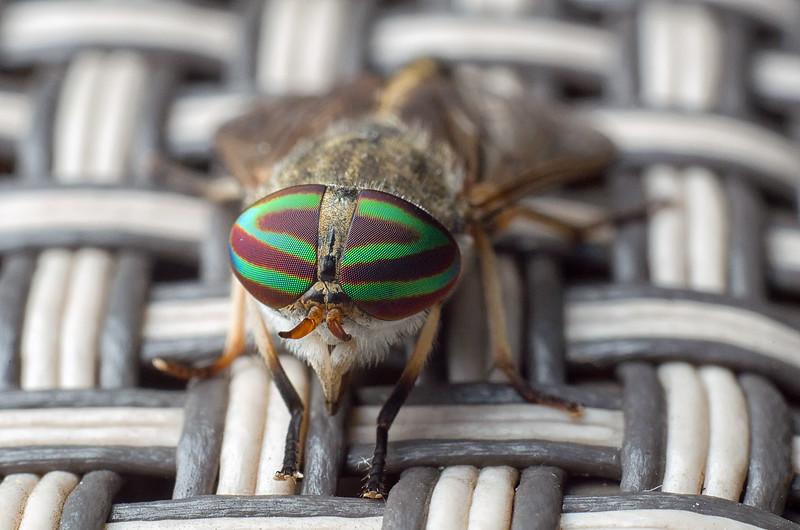 Horsefly, female - Tabanus nigrovittatus