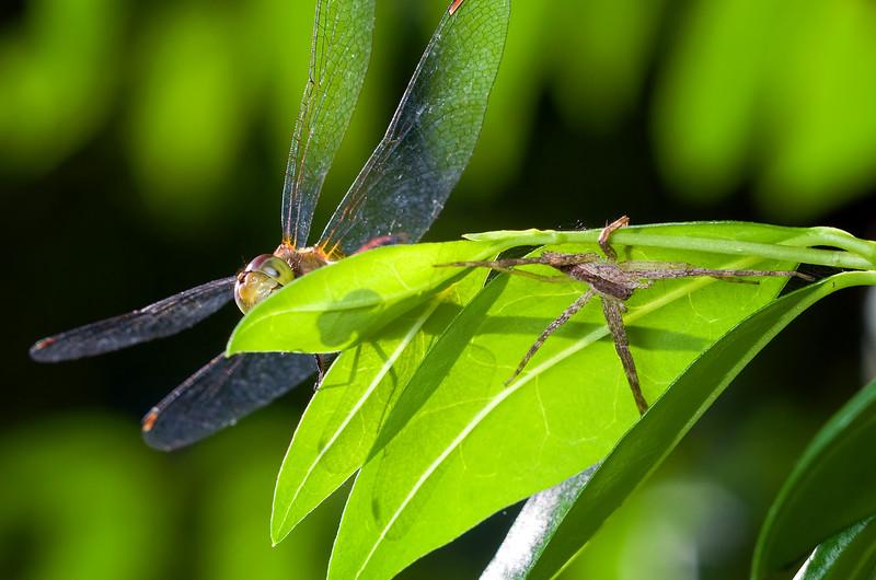 Meadowhawk and Nursery Web Spider