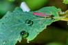 Candystriped Leafhopper - Graphocephala coccinea