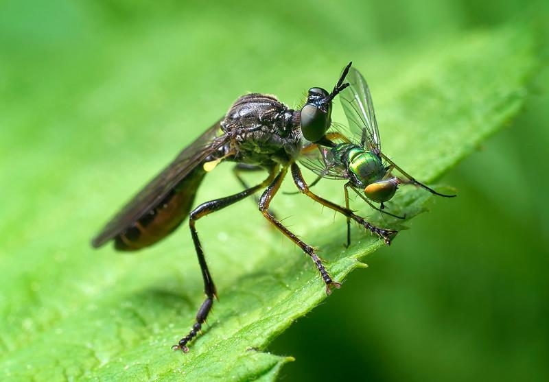 Robber Fly devours a Long-legged Fly