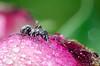 Ant on Peony bud