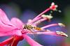 Hoverfly on gaura blossom