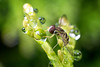 Hoverfly on arborvitae