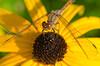 Ruddy Darter - Sympetrum sanguineum - female