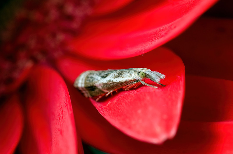 Crambid Snout Moth on gerbera daisy