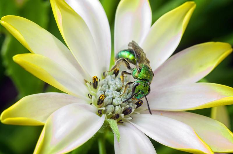 Green Metallic Sweat Bee on Osteospermum