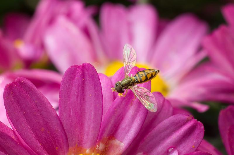 Hoverfly on chrysanthemum
