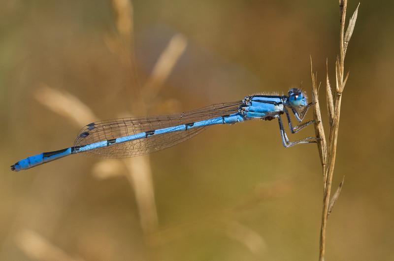 Atlantic Bluet - Enallagma doubledayi, male