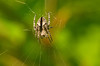 Garden orb weaver - Araneus diadematus
